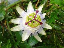 Цветок пассифлоры Стоковое фото RF