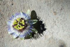 Цветок пассифлоры Стоковое Изображение