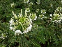 Цветок паука или psinose Cleome Стоковые Фото