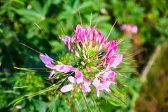 Цветок паука Стоковые Изображения