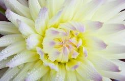 цветок падений росы георгина Стоковое Фото