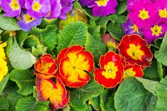 Цветок первоцвета Стоковое Изображение