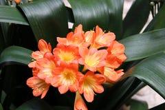 Цветок персика на городском административном центре Marin County Стоковое Изображение