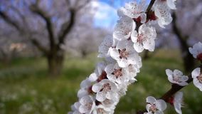 Цветок персика на дереве в природе акции видеоматериалы