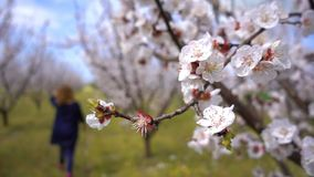 Цветок персика на дереве в природе сток-видео