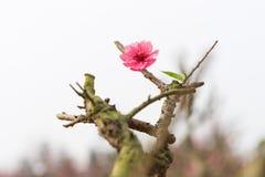 Цветок персика, символ Нового Года ViPetnamese лунного В почти каждом домочадце, критические приобретения для Tet включают персик Стоковое Изображение