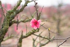 Цветок персика, символ Нового Года ViPetnamese лунного В почти каждом домочадце, критические приобретения для Tet включают hoa пе Стоковое Фото