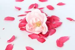 Цветок персика Стоковые Изображения