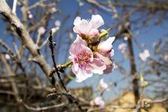 Цветок персика Стоковые Изображения RF