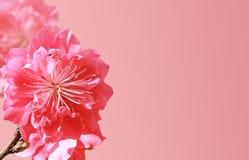 Цветок персика Стоковое фото RF