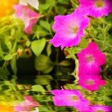 Цветок петуньи в саде Стоковое Изображение RF