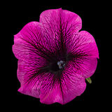 Цветок петуньи на черноте стоковое изображение rf
