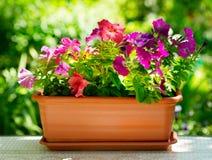 Цветок петуньи стоковая фотография rf