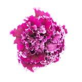 Цветок петуньи Стоковые Фотографии RF