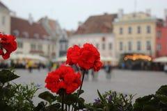 Цветок пеларгонии Стоковое Фото