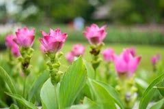 Цветок Пинга Стоковые Фотографии RF