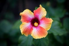 Цветок пинка, апельсина и белых пестротканый тропический гибискуса Стоковые Фото