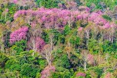 Цветок пинка Сакуры на горе Стоковое Изображение RF