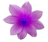 Цветок пинка сада, белизна изолировал предпосылку с путем клиппирования closeup Стоковое Изображение RF