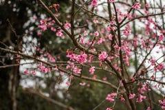 Цветок пинка Таиланда Сакуры в ChiangMai Стоковые Изображения