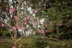 Цветок пинка Таиланда Сакуры в ChiangMai Стоковые Изображения RF