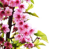 Цветок пинка Таиланда Сакуры Стоковое фото RF
