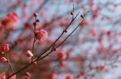 Цветок пинка цветения сливы Стоковые Изображения RF
