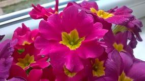 Цветок пинка Beautyful Стоковые Изображения