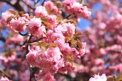 Цветок пинков Стоковые Фото