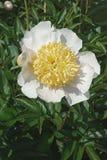 Цветок пиона бушеля-Te Стоковые Изображения