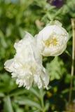 Цветок пиона в саде лета Стоковое Изображение RF