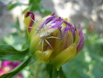 Цветок пиона и паук Стоковые Изображения