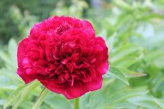 Цветок пиона красный Maroon стоковая фотография