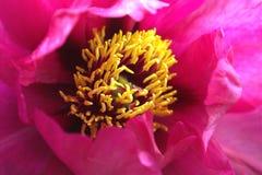Цветок пиона Mikado Стоковая Фотография