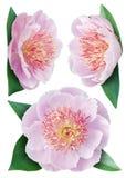 Цветок пионов Стоковые Фото