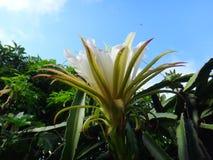 Цветок плодоовощ дракона Стоковые Изображения RF