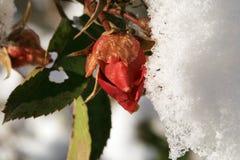 Цветок поднял под снег Стоковое фото RF