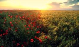 Цветок поля маков на заходе солнца Стоковая Фотография