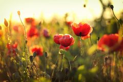 Цветок поля маков на заходе солнца Стоковые Изображения RF