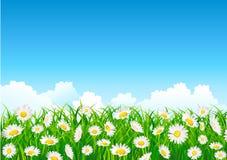 цветок поля маргаритки Стоковые Изображения