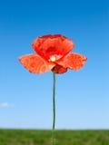 цветок поля над красным цветом мака стоковые фотографии rf