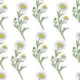Цветок поля стоцвета одичалый изолированный на белой предпосылке, ботанической руке нарисованный эскиз маргаритки, иллюстрация ве Стоковое фото RF