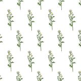 Цветок поля стоцвета одичалый изолированный на белой предпосылке, ботанической руке нарисованный эскиз маргаритки, иллюстрация ве Стоковое Изображение RF