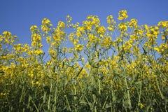 цветок поля Стоковая Фотография