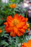 Цветок померанцовой маргаритки Стоковые Фотографии RF