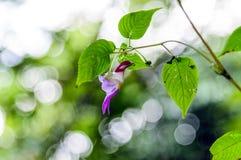 Цветок попугая psittacina Impatiens на предпосылке bokeh на Doi Luang Chiang Dao, Чиангмае, Таиланде Стоковая Фотография RF