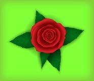 Цветок поднял на салатовую предпосылку Стоковые Фото