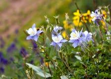 Цветок положения Колорадо Wildflowers Columbine Стоковое Изображение RF