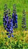 Цветок поля 4 летних дней Стоковая Фотография RF