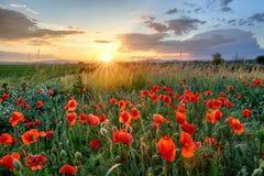 Цветок поля маков на заходе солнца Стоковые Фотографии RF